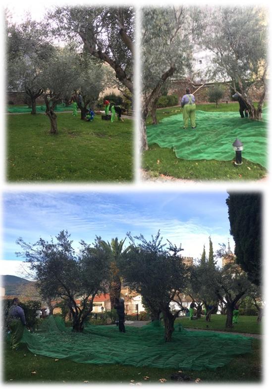 Recogiendo aceitunas en el Parador de Guadalupe 2018