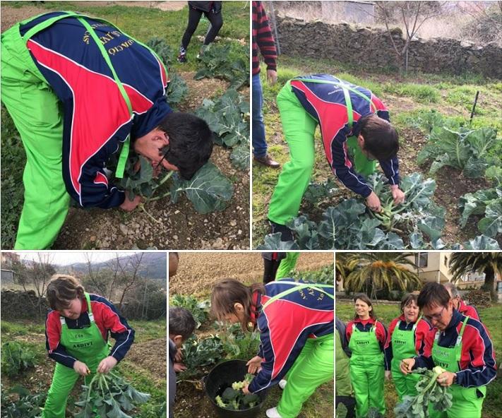 Recogida de coles y brócoli 2019