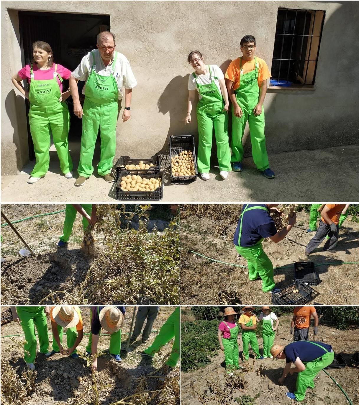 Recogida de las patatas julio 2019