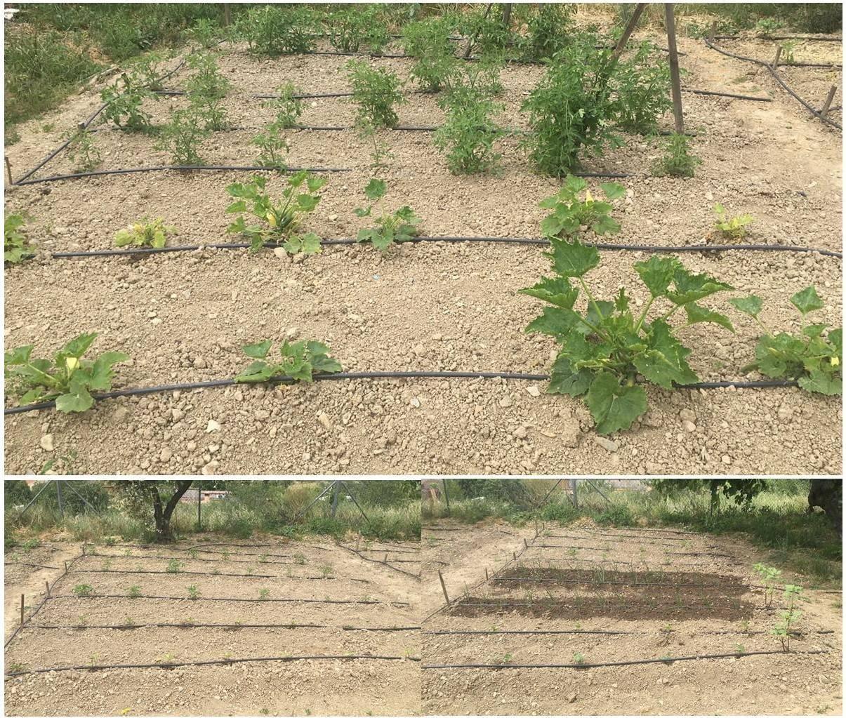 Comenzamos a sembrar nuestro huerto (mayo 2021) 2